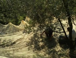 TUSCANY AND TRADITION THE OLIVE HARVEST
